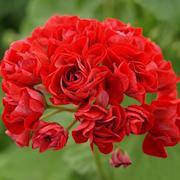 rosenknoppspelargon-red-rosebud-samlarpelargo-1