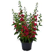 angelonia-archangel-cherry-red-105cm-kruka-1