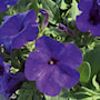 petunia-veranda-dark-blue---3-plantor-2