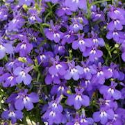 lobelia-lobelix-dark-blue---3-plantor-1