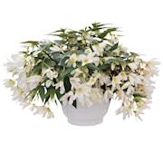 boliviabegonia-groovy-white-105-cm-kruka-1