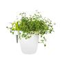 brussels-herbs-single-small-vit-1