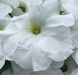 petunia-limbo-white-9cm-kruka-1