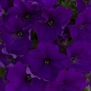 petunia-gotunia-blue-105cm-kruka-1