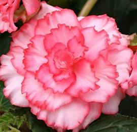 begonia-picotee-rosa-3st-1