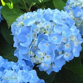 hortensia-endless-summer-the-original-5l-co-1