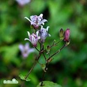 skugglilja-purple-beauty-3st-barrotad-1
