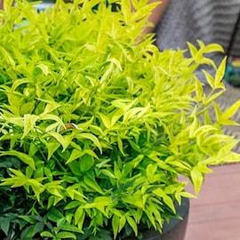 nandina-lemon-lime-15-2l-co-1