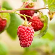 hallon-summerlovers-garden-red-17-19cm-kruka-1