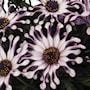 stjrnga-margarita-white-spoon---3-plantor-3