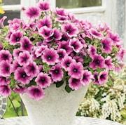 petunia-vivini-purple-vein-105cm-kruka-1