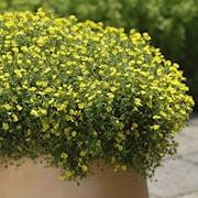 mecardonia-magic-carpet-yellow-105cm-kruka-1