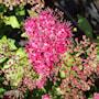 rosenspirea-anthony-waterer-3-35-l-co-2