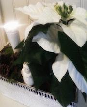 julstjrna-vit-sn-1