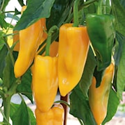 krukpaprika-snacky-yellow-105cm-kruka-1
