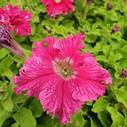 petunia-aphrodite-rosy---3-plantor-1