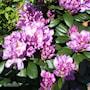 rhododendron-catawbiense-grandiflorum-225cm-2