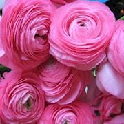 ranunkel-aviv-rosa-10st-1