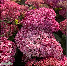 vidjehortensia-pink-annabelle-3l-kruka-1