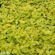 penningblad-goldilocks-12cm-kruka-1
