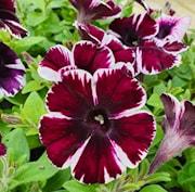 petunia-sweetunia-miss-marvelous---3-plantor-1
