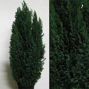 jul-endelcypress-ellwoodii-21cm-hruka-h80-100-1