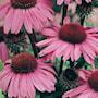 rudbeckia-bravado-6