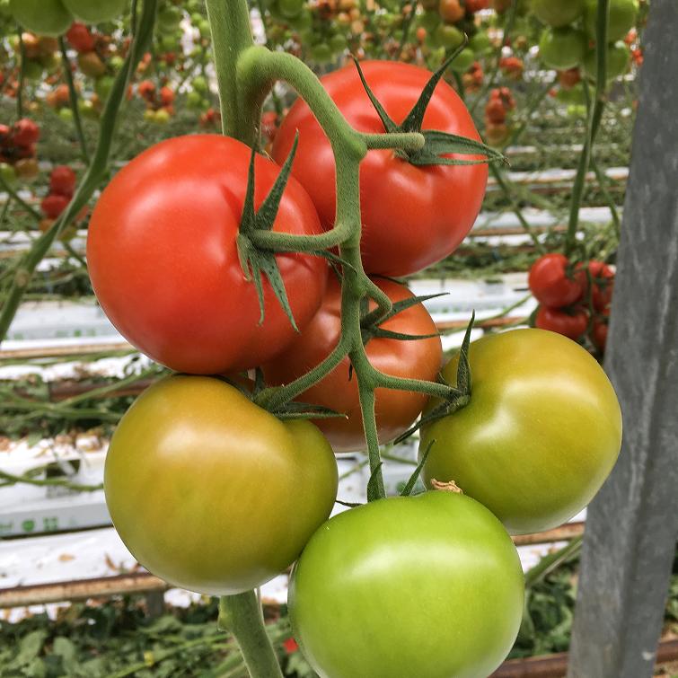 384/ Tomat (Klassiskt rund) 'Caroleza