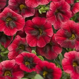 minipetunia-superbells-pomegranate-punch---3-1