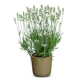 lavendel-beezee-white-9cm-kruka-1