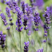 lavendel-belle-bleue-12cm-kruka-1