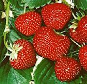 jordgubbe-senga-sengana-7cm-kruka-1
