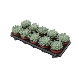 succulent-aurora-105cm-1