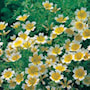 poached-egg-plant--limnanthes-3
