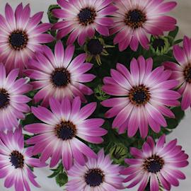 stjrnga-cape-daisy-zanzibar-rose-bicolour-1