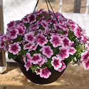sweetunia-rose-gem---3-plantor-1