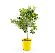 citron-stam-h70-80cm-20cm-kruka-1