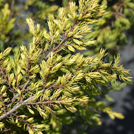 juniperus-goldschatz-c15-c2-1
