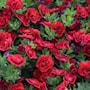 minipetunia-superbells-double-ruby---3-planto-1