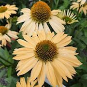 rudbeckia-sensation-honeygold-105cm-kruka-1