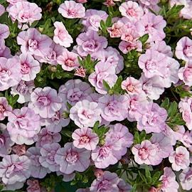 minipetunia-minifamous-double-pink---3-planto-1