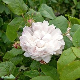 ros-jacques-cartier-white-20cm-kruka-1