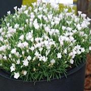 nejlika-waikiki-white-12cm-kruka-1