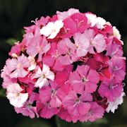 snittblomma-borstnejlika-sweet-pink-magic-3-p-1