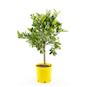 citrus-chinotto-stam-h40-50cm-16cm-kruka-2