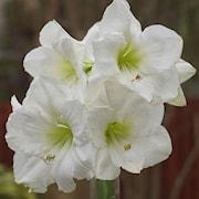 amaryllis-moscow-1st-1