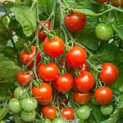 krsbrstomat-gardeners-delight-9cm-kruka-1