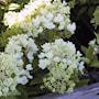 syrenhortensia-grandiflora-35-l-co-3
