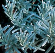 ull-lavendel-12cm-kruka-1
