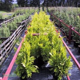 guldcypress-ivonne-c15-2-1